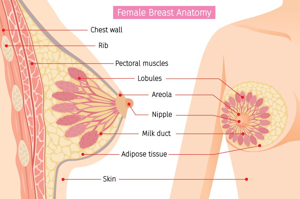 Breat-anatomy