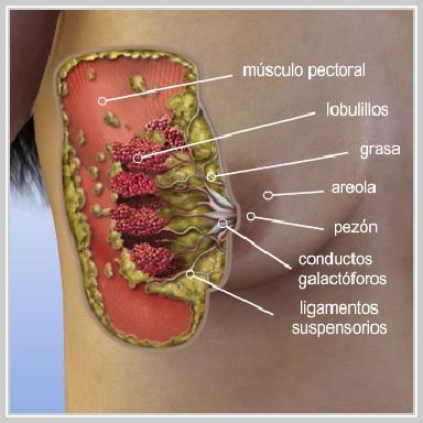 Levantamiento-de-Senos-con-Implante-ANATOMÍA-DE-LOS-SENOS
