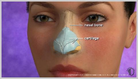 rhinoplast-RHINOPLAST-ANATOMY